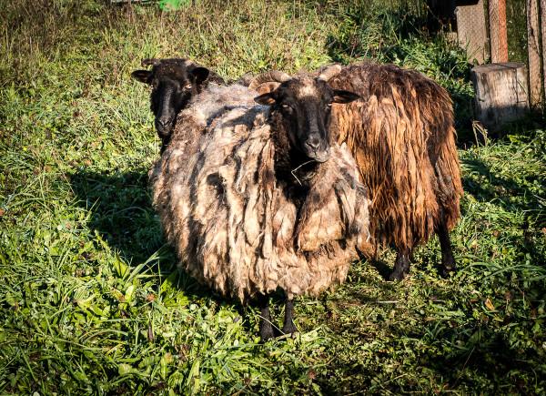 owce wrzosówki-1