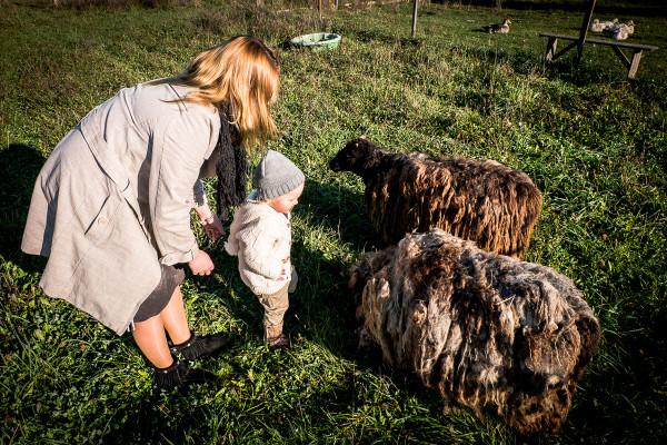 owce wrzosówki-7