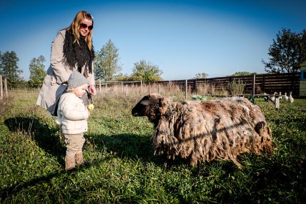 owce wrzosówki-8
