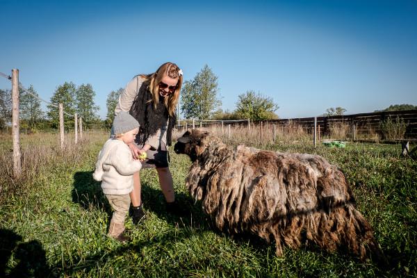 owce wrzosówki-9